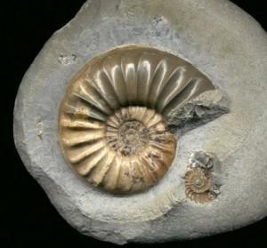 Asteroceras sp.