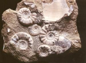 Acanthopleuroceras valdani