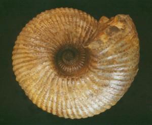 Cadoceras sublaeve