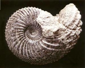 Longaeviceras placenta